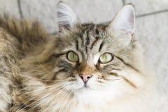 gato siberian marrom adorável que olha acima Foto de Stock