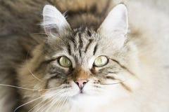 gato siberian marrom adorável que olha acima Imagens de Stock