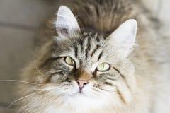gato siberian marrom adorável que olha acima Fotografia de Stock