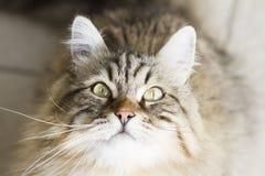 gato siberian marrom adorável que olha acima Imagem de Stock