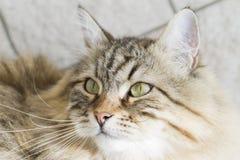 gato siberian marrom adorável que olha acima Fotos de Stock Royalty Free