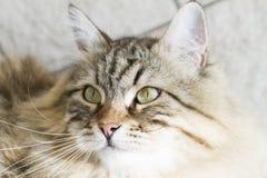 gato siberian marrom adorável que olha acima Imagem de Stock Royalty Free
