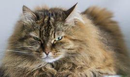 Gato siberian marrom macio do puro-sangue que encontra-se em uma tabela fotos de stock