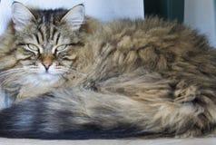 Gato siberian masculino do gato malhado marrom adorável que encontra-se na casa fotografia de stock royalty free