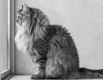 Gato siberian masculino do gato malhado marrom adorável que senta-se na janela foto de stock