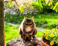 Gato Siberian muito bonito e bonito no jardim imagens de stock royalty free