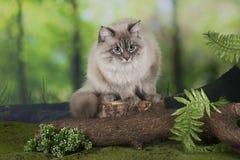 Gato Siberian na floresta fotos de stock