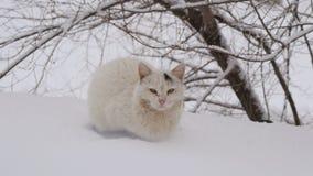 Gato Siberian na neve video estoque