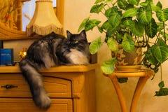 Gato Siberian no armário fotografia de stock royalty free