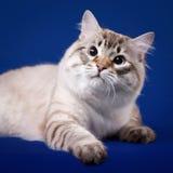 Gato siberian novo foto de stock