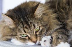Gato siberian peludo, versão branca marrom do gato malhado que encontra-se na cadeira de jardim Imagem de Stock Royalty Free