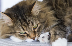 Gato siberian peludo, versão branca marrom do gato malhado que encontra-se na cadeira de jardim Fotos de Stock Royalty Free