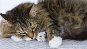 Gato siberian peludo, versão branca marrom do gato malhado que encontra-se na cadeira de jardim Foto de Stock Royalty Free