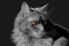 Gato Siberian que encontra-se em uma mesa Imagens de Stock