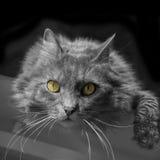Gato Siberian que encontra-se em uma mesa Imagem de Stock Royalty Free