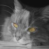 Gato Siberian que encontra-se em uma mesa Foto de Stock Royalty Free