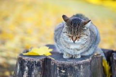 Gato Siberian que senta-se no coto Fotos de Stock