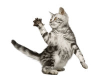 Gato siberiano (12 semanas) Foto de archivo libre de regalías