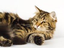 Gato siberiano Fotos de archivo