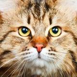 Gato siberiano Imagen de archivo libre de regalías