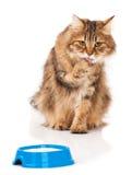 Gato siberiano Imágenes de archivo libres de regalías