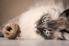 Gato siberiano con el ovillo Fotos de archivo libres de regalías