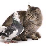 Gato siberiano del híbrido y gato persa Foto de archivo libre de regalías