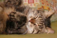Gato siberiano el dormir Imagen de archivo