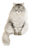 Gato siberiano gris en el fondo blanco Fotos de archivo libres de regalías