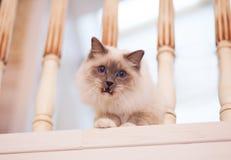 Gato siberiano hermoso con los ojos azules en el backround ligero imagenes de archivo