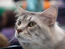Gato siberiano joven fotografía de archivo