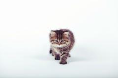 Gato siberiano mullido en un fondo blanco Foto de archivo