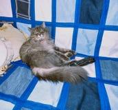 Gato siberiano mullido que miente en el sofá Imagenes de archivo
