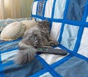 Gato siberiano mullido que miente en el sofá Imágenes de archivo libres de regalías