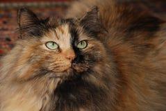 Gato siberiano multicolor del bosque Fotos de archivo