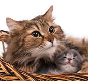 Gato siberiano precioso Imágenes de archivo libres de regalías