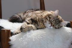 Gato siberiano que duerme en una silla imagenes de archivo