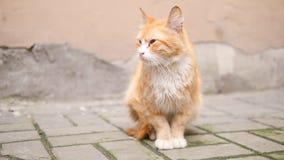 Gato sin hogar del jengibre viejo en la calle 4K a cámara lenta almacen de video