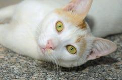Gato sin hogar egipcio Imagen de archivo