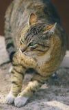 Gato sin hogar que lucha Fotografía de archivo libre de regalías
