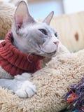 Gato sin pelo de Sphynx en cama marrón de la piel Imágenes de archivo libres de regalías