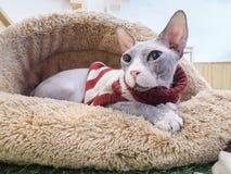 Gato sin pelo de Sphynx en cama marrón de la piel Fotos de archivo libres de regalías