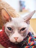 Gato sin pelo de Sphynx en cama marrón de la piel Fotos de archivo