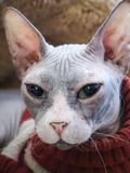 Gato sin pelo de Sphynx en cama marrón de la piel Imagenes de archivo