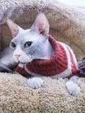 Gato sin pelo de Sphynx en cama marrón de la piel Foto de archivo