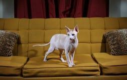 Gato sin pelo que se coloca en un sofá Foto de archivo libre de regalías