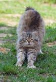 Gato Smarting en hierba verde foto de archivo libre de regalías
