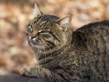 Gato soñador pacificado del colorante del tigre Imagen de archivo libre de regalías