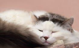 Gato soñoliento Fotos de archivo libres de regalías