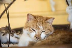 Gato soñoliento Fotografía de archivo libre de regalías